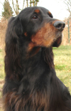VDH Gordon Setter vom Pinnower Moor